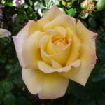 ScripKaren's Roses, Inspirations by Karen and Laszlo Lak